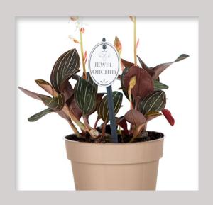 Jewel Orchid - Ludisia Discolor - Care