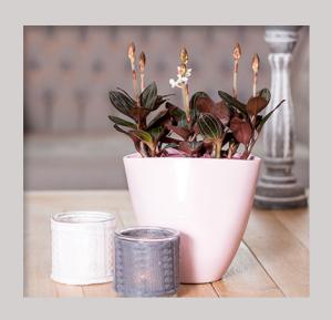 Jewel Orchid - Ludisia Discolor - inspiratie